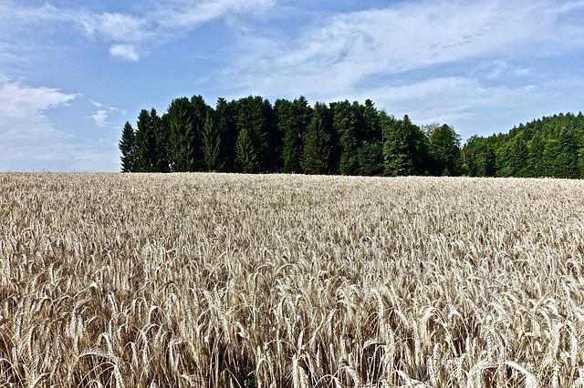 pšenice na poli.jpg