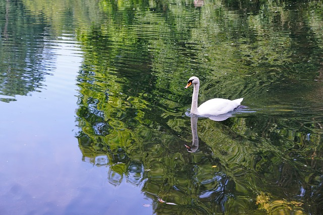 osamnělá labuť